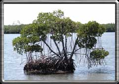 Mangrove islands prevail in the everglades.